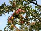 Rheinische Bohnäpfel Früchte am Baum