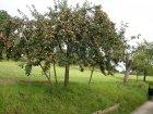 Rheinischer Bohnapfel Baum