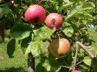 Boskoop-Apfel-Früchte am Baum
