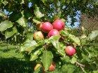Boskoop Früchte am Baum