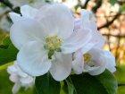 Gravensteiner Blüte