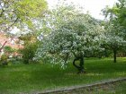 Quitten-Baum in Blüte
