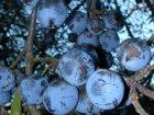 Zibarten-Frucht am Ast