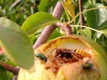 Frucht des Gelbmöstlers mit Hornisse