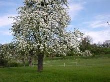 Birnbaum in vollr Blühte