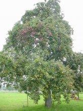 Birnbaum großer Rommelter