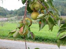 Birnfrucht am Baum Kieffers Sämling