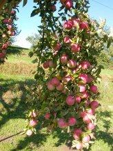 Bohnapfel Früchte am Baum