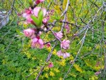 Pfirsich-Blüten