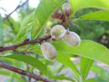 Pfirsich-Fruchtansatz