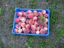 Pfirsich-Früchte Ernte
