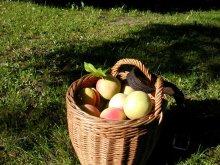 Pfirsich-Früchte im Korb