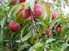 Pfirsich-Frucht am Ast