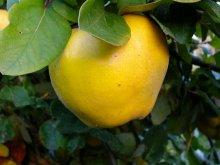 Quitten-Frucht
