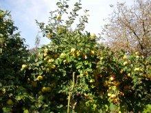 Qitten-Hochstamm-Baum